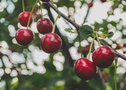 El espectáculo de los cerezos en flor del Valle del Jerte